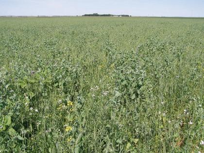 campo_colture_a_perdere_cover_crops
