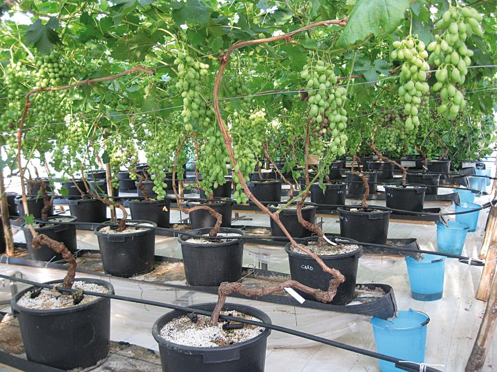 Se la vite senza suolo nova agricoltura - Coltivare uva da tavola in vaso ...