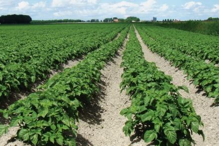 Patate di qualità con l'irrigazione ad ala gocciolante