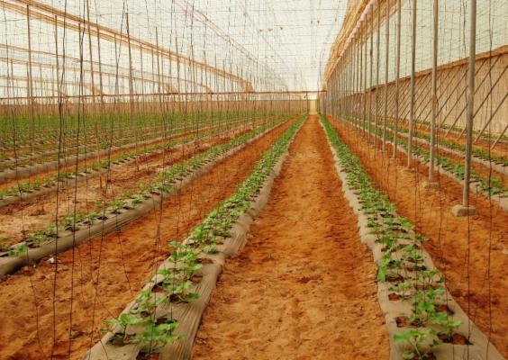 melone coltivato