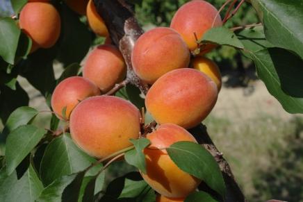 Frutta, con i biostimolanti maturazione migliore e più uniforme