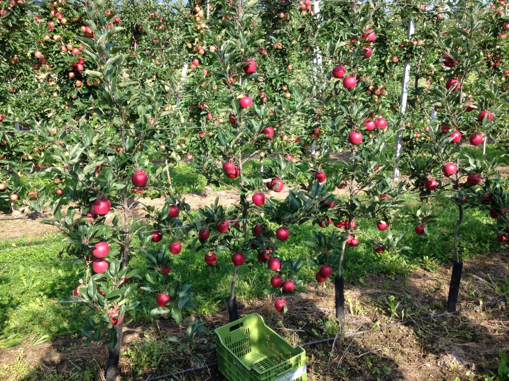 Nuove variet di alberi mele per il mercato - Immagini stampabili di mele ...