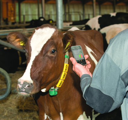 mucca con collare smartphone
