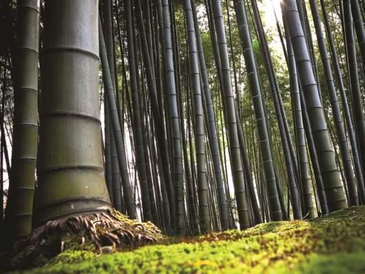 Il bambù gigante OnlyMoso® è una graminacea sempreverde che raggiunge 14-25 m di altezza e 8-15 cm di diametro.