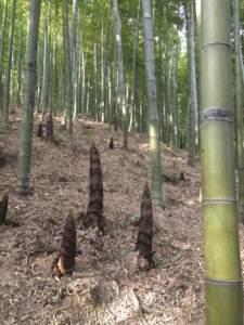 I germogli di bambù, pesanti fino a 500 g, costituiscono un alimento ricco di minerali e vitamine.