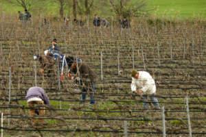 Operai al lavoro nelle vigne della cantina Librandi