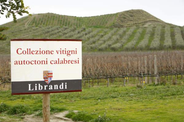 Il campo sperimentale del produttore Nicodemo Librandi