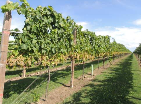 viti per agricoltura sostenibile