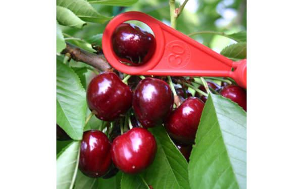 ciliege varietà