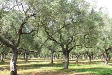 Olivo.net, il grande fratello che rivoluziona l'olivicoltura