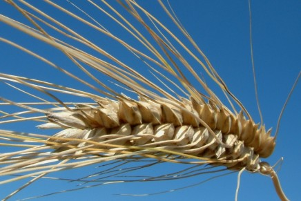 Nuove varietà di grano, ricerca nel solco della tradizione