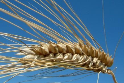 Grano senza glutine, in un libro le innovazioni della ricerca italiana