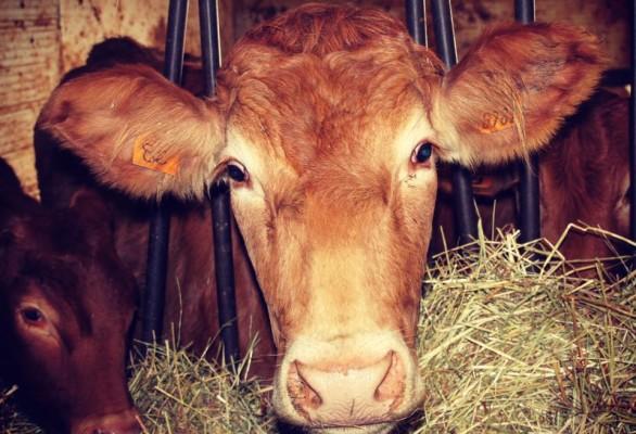 Vacche rosse