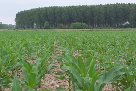 Con gli acidi umici mais più sano, redditizio e sostenibile