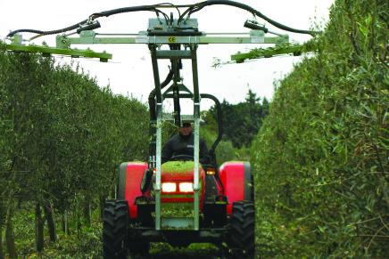 Potare gli oliveti ad altissima densità