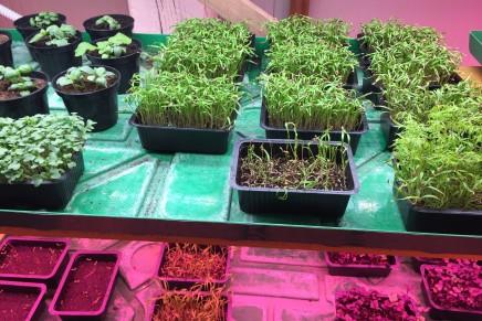 Microgreen, opportunità di reddito per gli agricoltori