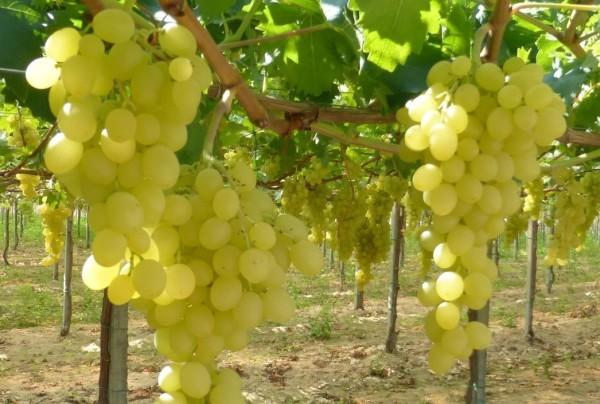 Uva da tavola bisogna scommettere sulle nuove variet - Uva da tavola coltivazione ...