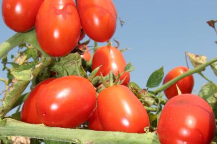 Pomodoro da industria, la qualità si decide adesso