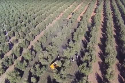 Una via italiana per l'oliveto superintensivo