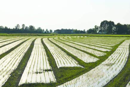 Pacciamatura, sul riso biologico taglia i costi di acqua e diserbo