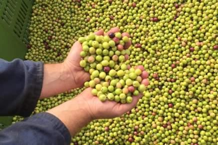 Ad Agrilevante il punto sulla ricerca italiana per gli oliveti superintensivi